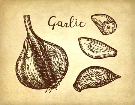 Ink sketch of garlic on old paper background. Hand drawn vector illustration. Retro style. Çizim