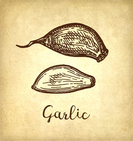 Ink sketch of garlic on old paper background. Hand drawn vector illustration. Retro style. Ilustrace