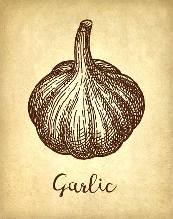 Ink sketch of garlic on old paper background. Hand drawn vector illustration. Retro style. Vectores