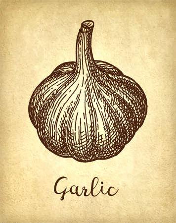 Ink sketch of garlic on old paper background. Hand drawn vector illustration. Retro style. Illustration
