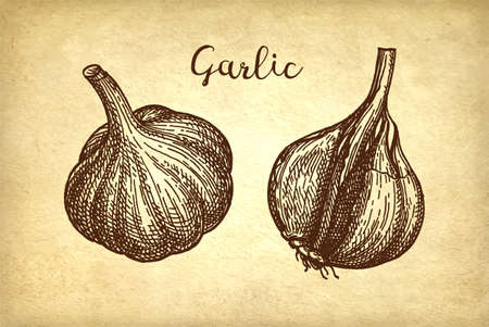 Ink sketch of garlic on old paper background. Hand drawn vector illustration. Retro style. Ilustração