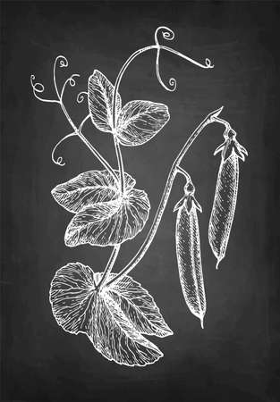Chalk sketch of pea on blackboard background. Hand drawn vector illustration. Retro style. Illustration