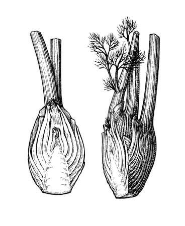Tintenskizze von Fenchelknollen isoliert auf weißem Hintergrund. Handgezeichnete Vektor-Illustration. Retro-Stil. Vektorgrafik