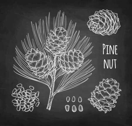 Chalk sketch of pine nut Stock Vector - 124889465