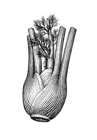 Tintenskizze der Fenchelknolle lokalisiert auf weißem Hintergrund. Handgezeichnete Vektor-Illustration. Retro-Stil.