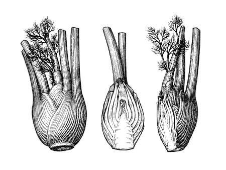Tintenskizze von Fenchelknollen isoliert auf weißem Hintergrund. Handgezeichnete Vektor-Illustration. Retro-Stil.
