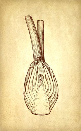 Ink sketch of fennel bulbs on old paper background. Hand drawn vector illustration. Retro style. Banco de Imagens - 122585840