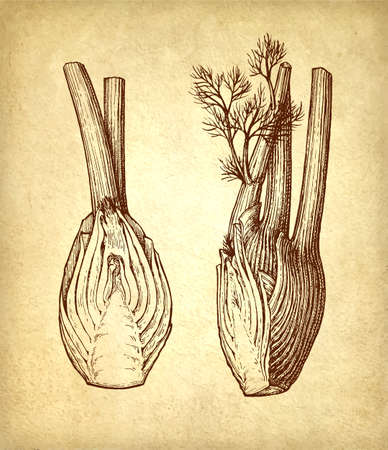 Ink sketch of fennel bulbs on old paper background. Hand drawn vector illustration. Retro style.