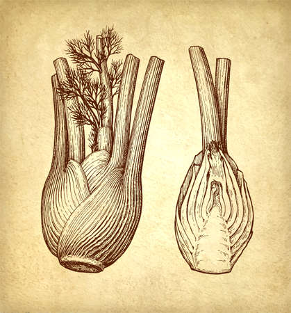Ink sketch of fennel bulbs Çizim