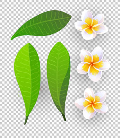 Vector illustration of plumeria flowers Illusztráció