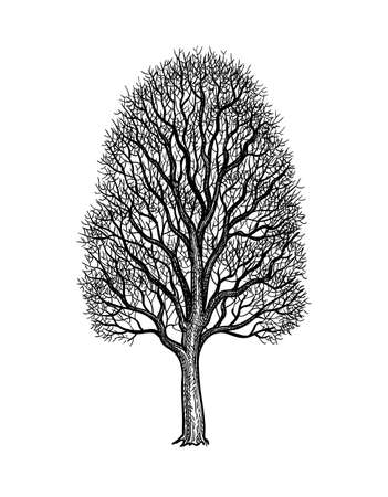 Ink sketch of Maple Tree Ilustracja