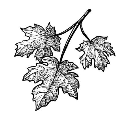 Ink sketch of maple branch. Illusztráció