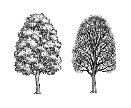 Winter and summer maple trees. Ink sketch isolated on white background. Hand drawn vector illustration. Retro style.