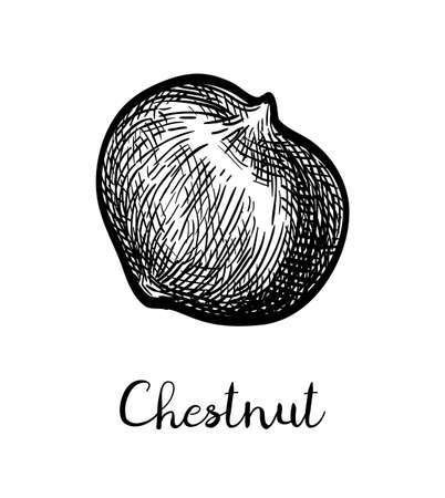 Chestnut. Ink sketch isolated on white background. Hand drawn vector illustration. Retro style. Ilustração
