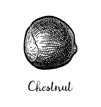 Chestnut. Ink sketch isolated on white background. Hand drawn vector illustration. Retro style. Иллюстрация
