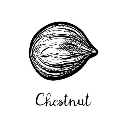 Chestnut peeled. Ink sketch isolated on white background. Hand drawn vector illustration. Retro style. Vector Illustratie