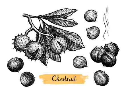 Chestnuts. Ink sketch isolated on white background. Hand drawn vector illustration. Retro style.  イラスト・ベクター素材