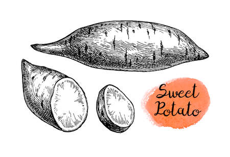 Sweet potato. Ink sketch of yam isolated on white background. Hand drawn vector illustration. Retro style.