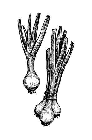 Ink sketch of scallions.