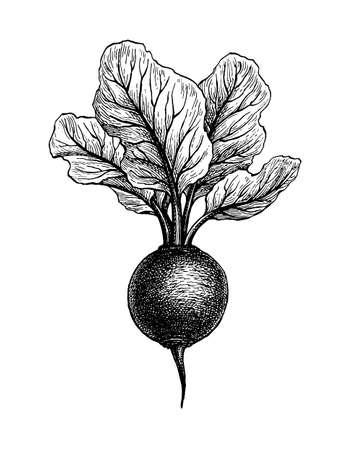 Ink sketch of beetroot. Illustration