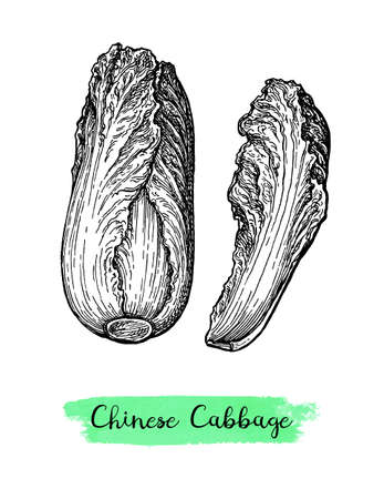 Ink sketch of napa or Chinese cabbage.