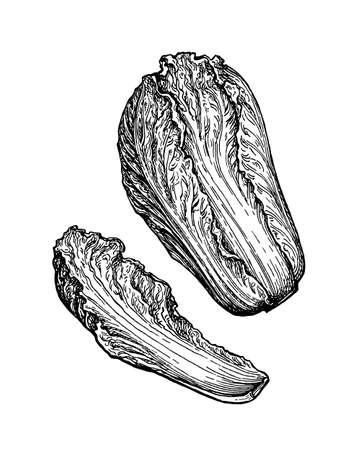 Ink sketch of napa or Chinese cabbage. Vektoros illusztráció