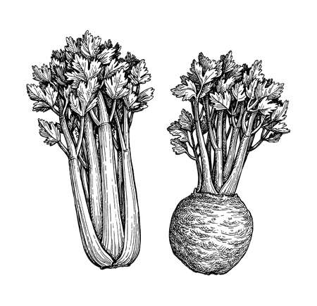 Celery with stalks, greens and root. Ink sketch isolated on white background. Hand drawn vector illustration. Retro style.