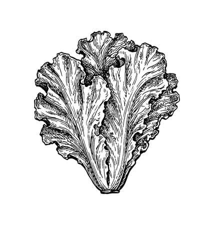Ink sketch of lettuce.