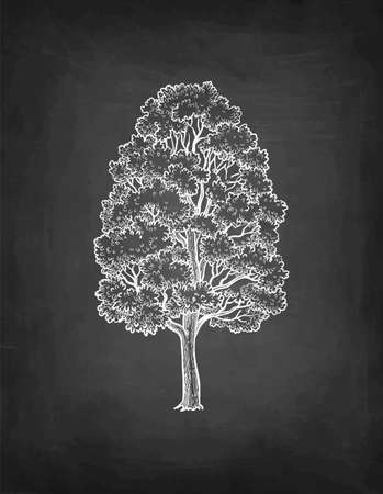 Chalk sketch of maple tree.