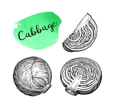 Ink sketch of cabbage