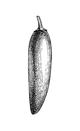 Ink sketch of jalapeno Vectores