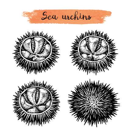 Ink sketch of urchins. Ilustración de vector