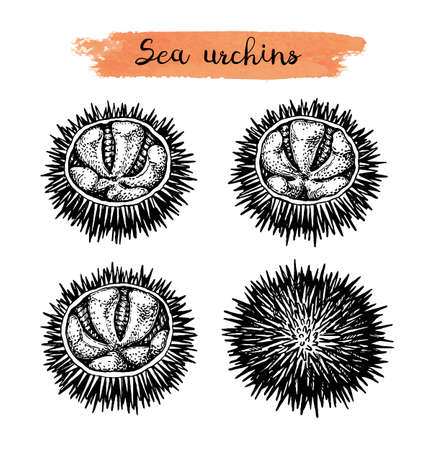 Ink sketch of urchins. Vektoros illusztráció
