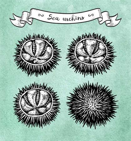 Ink sketch of urchin. Illustration