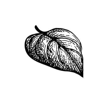 Ink sketch of heart shaped leaf.