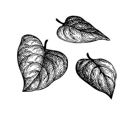 Ink sketch of heart shaped leaves. Ilustração