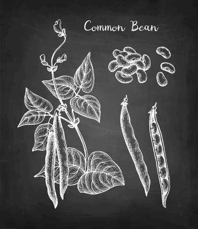 Chalk sketch of common bean Illustration