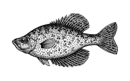 Crappie fish ink sketch