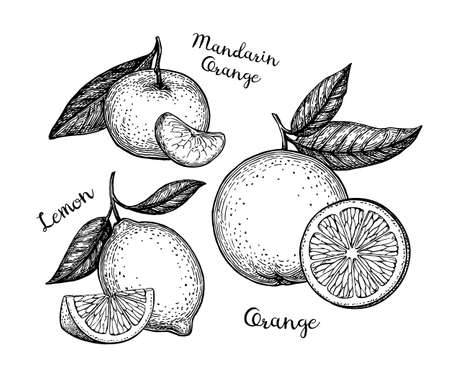 Ink sketches of citrus fruit.