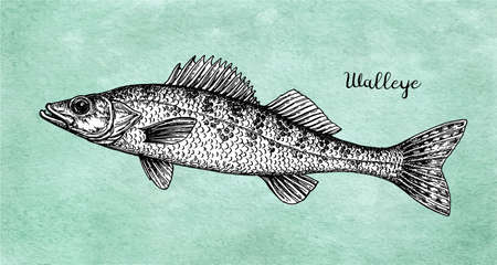 Walleye fish ink sketch