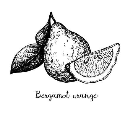 Ink sketch of bergamot orange Ilustración de vector