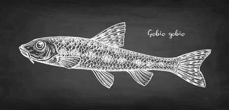 Gobio gobio fish chalk sketch 일러스트