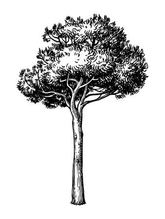 Ink sketch of stone pine tree.
