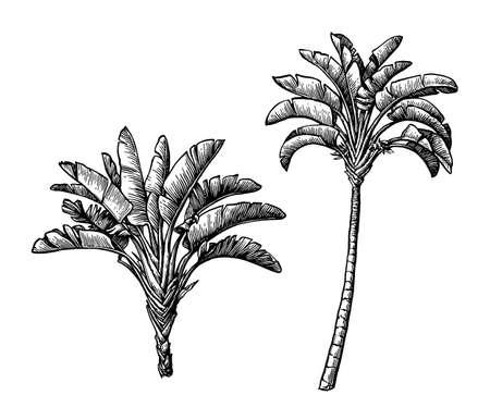 Ink sketch of ravenala palm.