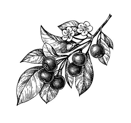 Cherry ink sketch. Illusztráció