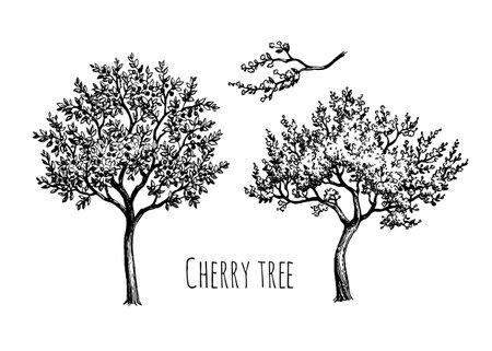 Blooming cherry tree.