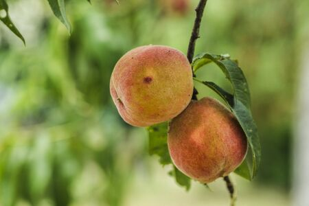peaches on a branch in green nature background closeup with copyspace