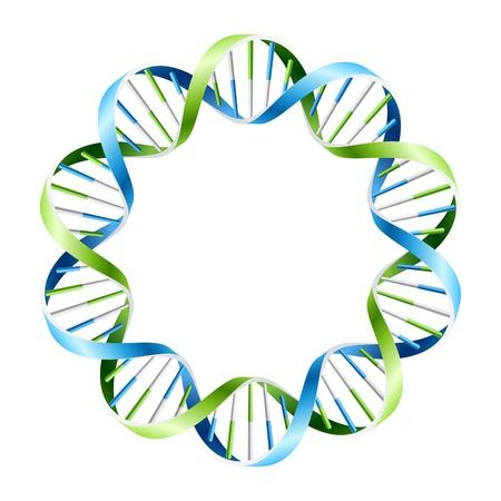 adn humano: Hebras de ADN en c�rculo Vectores