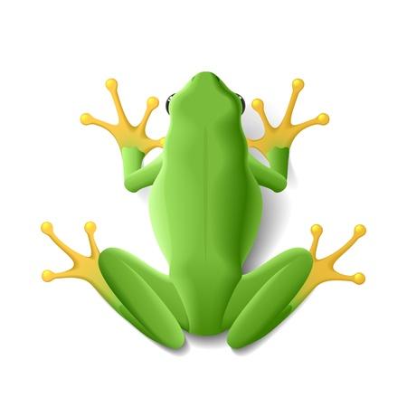 tree frog: Green frog Illustration
