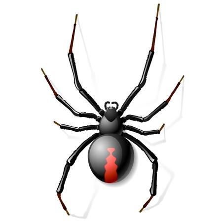 Negro araña viuda